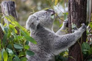 koala-1055379_1280